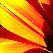 Focal Color Art Photos - Daisy 4-7 by Ann Pelaez