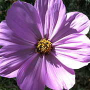 Focal Color Art Photos - Daisy 5-1 by Ann Pelaez