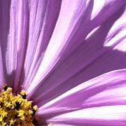 Focal Color Art Photos - Daisy 5-3 by Ann Pelaez