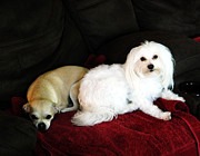 Maltese Dog Posters - Daisy and Peaches Poster by Shere Crossman