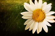 Mythja Photos - Daisy background by Mythja  Photography