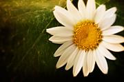 Mythja  Photography - Daisy background
