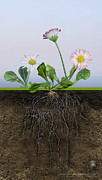 Daisy Drawings - Daisy Bellis perennis - root system - paquerette vivace - Margarita de los prados - margarida by Urft Valley Art