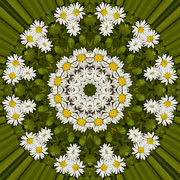 Mandala Photos - Daisy Chain Mandala Series Number 11 by Carrie Cranwill