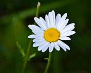 Mkz Prints - Daisy Daisy Print by Mary Zeman