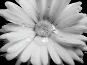 White Florals Prints - Daisy Dream Raindrops Monochrome Print by Jennie Marie Schell
