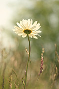 Daisy Dreams Print by HJBH Photography