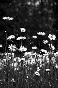 Vulgare Framed Prints - Daisy Field Framed Print by Anne Gilbert