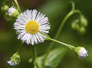 A Gurmankin - Daisy Fleabane Wildflower