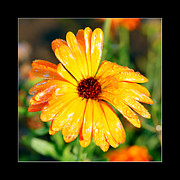 Flower Design Photo Originals - Daisy flower in orange and yellow  by Tommy Hammarsten