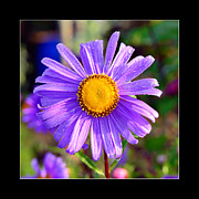 Flower Design Photo Originals - Daisy flower in purple color by Tommy Hammarsten