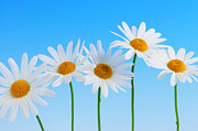 Yellow Background Posters - Daisy flowers on blue background Poster by Elena Elisseeva