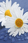 Wet Photo Framed Prints - Daisy flowers with water drops Framed Print by Elena Elisseeva