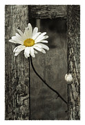 Indiana Art Framed Prints - Daisy - FS000357-a Framed Print by Daniel Dempster