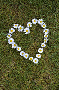 Daisy Heart Print by Tim Gainey