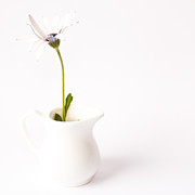 Square Art Photos - Daisy in a milk jug by Constance Fein Harding