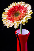 Garry Gay - Daisy In Red Vase
