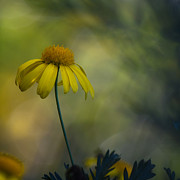Artistic Photo Prints - Daisy In The Mist Print by Constance Fein Harding