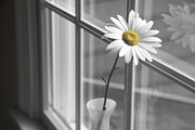 Black And Yellow Metal Prints - Daisy in the Window Metal Print by Diane Diederich