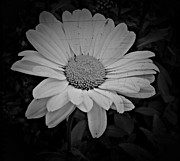 Aster  Mixed Media - Daisy Nostalgic Monochrome  by Chalet Roome-Rigdon