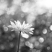 Black And White Photography Metal Prints - Daisy Rain Metal Print by Theresa Tahara