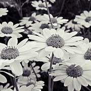 White Daisies Photos - Daisy White by Sharon Lisa Clarke