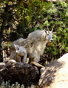 Lowlands Prints - Dakota Mountain Goats Print by Robert Frederick