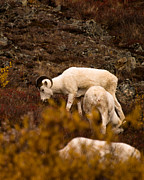 Photos Of Autumn Prints - Dall sheep grazing Print by Jeff Folger