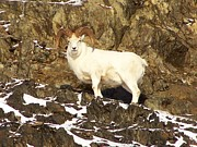 Shelly Rochon - Dall Sheep Ram