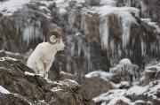 Ledge Framed Prints - Dall Sheep Ram Stands On A Rocky Cliff Framed Print by Doug Lindstrand