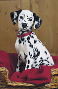 Red And White Polka Dot Framed Prints - Dalmatian in Basket A108 Framed Print by Greg Cuddiford