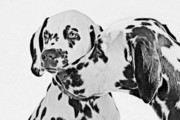 Two Dogs Framed Prints - Dalmatians - A Great Breed for the Right Family Framed Print by Christine Till