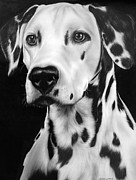 Black And White Prints Drawings Prints - Dalmation Print by Jerry Winick
