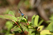 Huckleberry Prints - Damsel Fly Print by Hans Koepsell