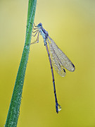 Damsel Fly Photos - Damsel in the morning by Todd Bielby