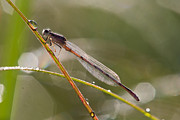 Damsel Fly Photos - Damsel with a drop by Todd Bielby