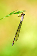 Bright Green Posters - Damselfly Poster by Christina Rollo