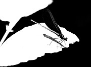 Damselfly Prints - Damselfly in Black and White Print by Heather Bridenstine