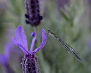Tomislav Vucic - Damselfly on Lavender...
