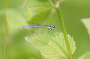 Robert E Alter Reflections of Infinity - Damselfly on Leaf