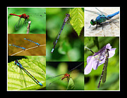 Blue Dragon Fly Prints - Damsels and Dragons Print by Christina Rollo