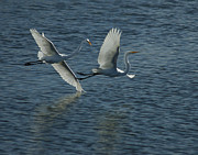 Shore Birds Photos - Dance of the Egrets by Ernie Echols