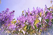 Lilacs Photos - Dance of the Lilacs by Colleen Kammerer