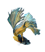 Betta Framed Prints - Dancer Fish Framed Print by Visarute Angkatavanich