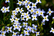 Tiny Bluet Prints - Dancing Bluet Flowers Print by Christina Rollo