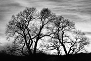 Black And White Photos Photos - Dancing Forest Trees In Black and White by James Bo Insogna