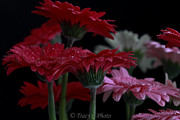 Tracy  Hall - Dancing Gerberas