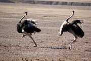 Ostrich Photos - Dancing in the Dry by Louis Lock