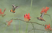 Rufous Hummingbird Posters - Dancing in the Flowers Poster by Angie Vogel