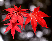 Red Maple Posters - Dancing Japanese Maple Poster by Rona Black